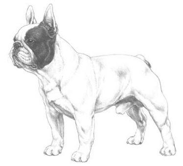 fransk bulldog med hale
